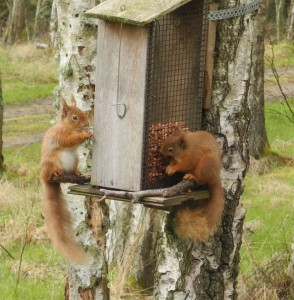 Two red squirrels on the feeders