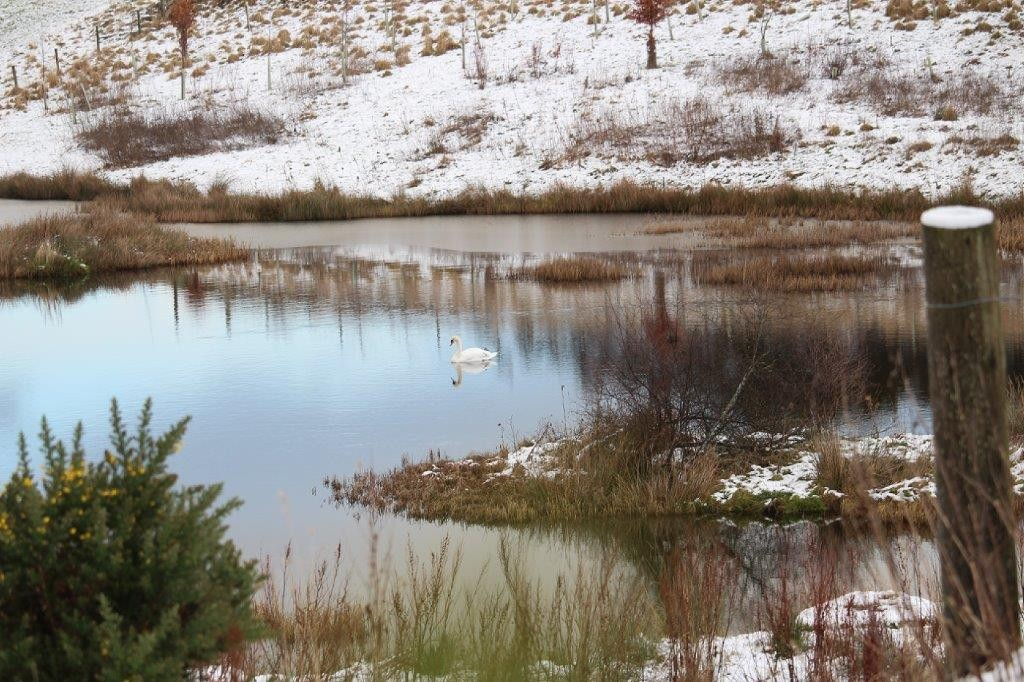 Swan on the lochan