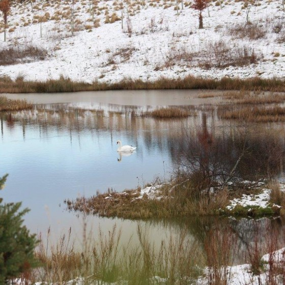 Swan on the lochan