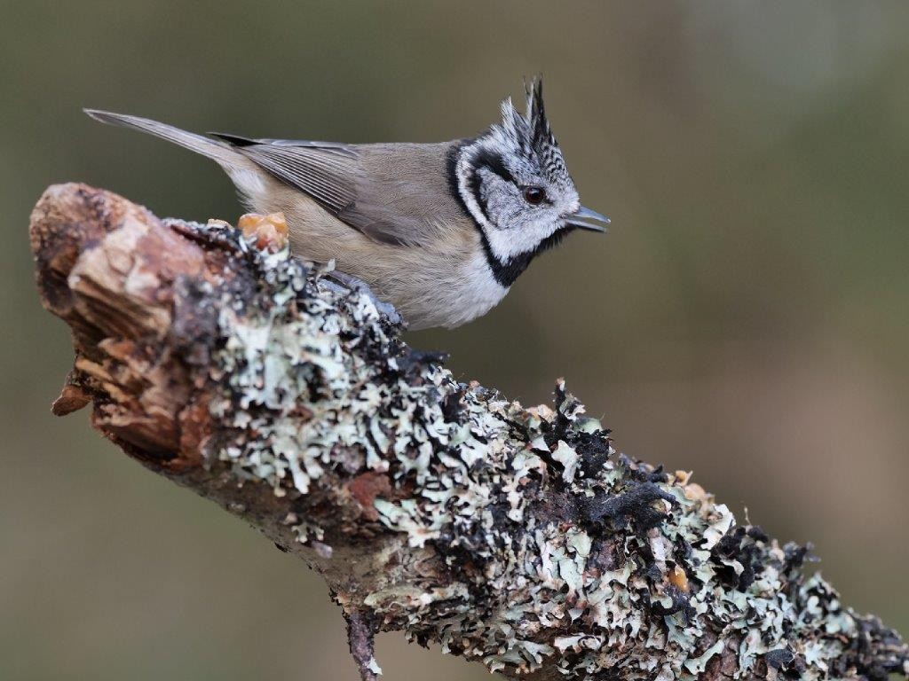 Just a short drive from the Lodges and you may be lucky enough to see this wee cutie - a crested tit