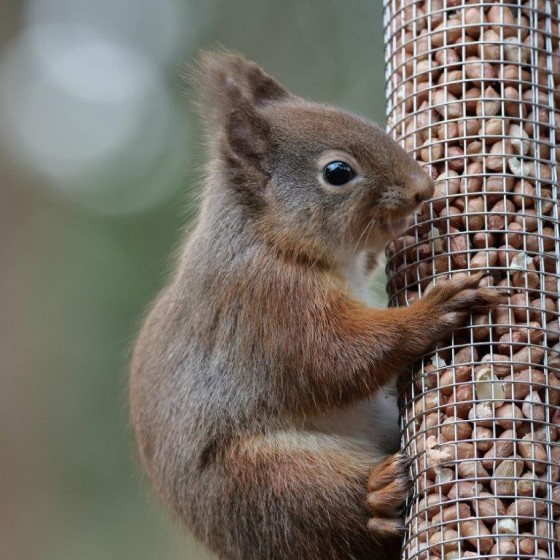 A red squirrel enjoying some lunch at the Lodges